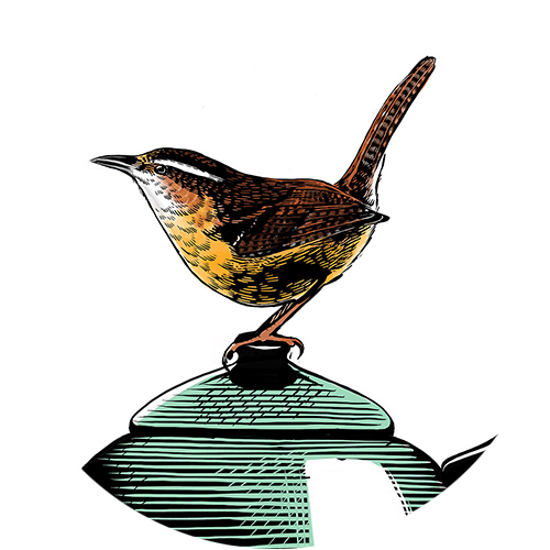 Carolina Wren | personal work