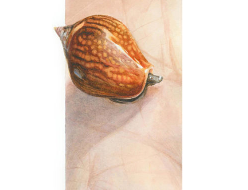 Spotted Dove Shell