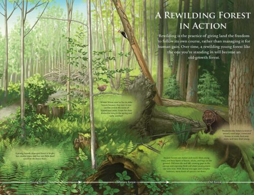 Rewilding Forest Process Illustration